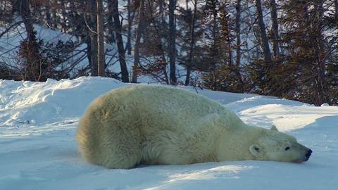 Slippery Bear