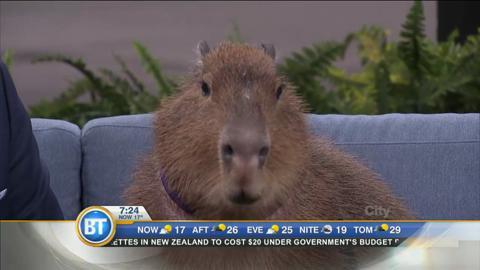 Willow the capybara strides into our studio